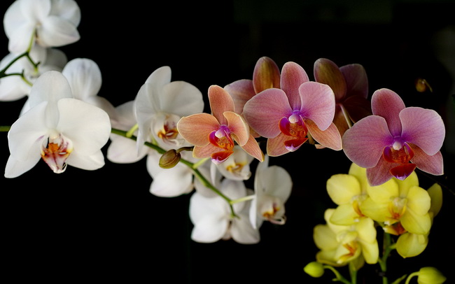 chiang mai orchid, chiang mai orchid farms