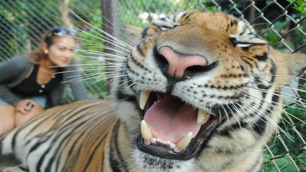 chiang mai animals planet package, chiang mai packages, chiang mai tour packages, tiger kingdom