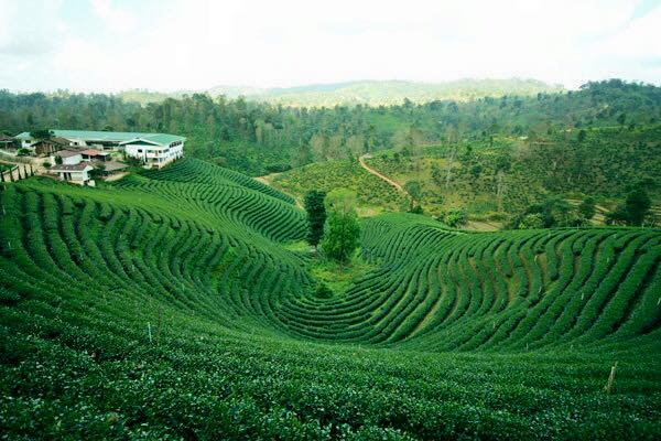 chiang mai - chiang rai tour package, chiang mai to chiang rai tours, chiang rai tour packages, choui fong tea plantation