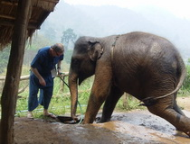 chiang mai elephant Trainning, thai elephant home