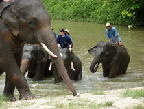 Elephant Trainning Camp in Chiangmai, Ban Bang Kud Elephant Camp