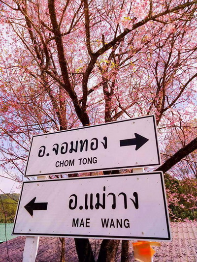 khun wang, khun wang royal project, khun wang cherry blossoms, cherry blossoms in chiang mai