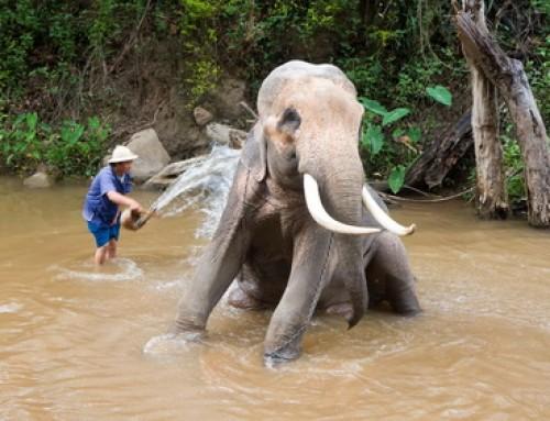 Maesa Elephant Camp : Chiang Mai Elephant Camp