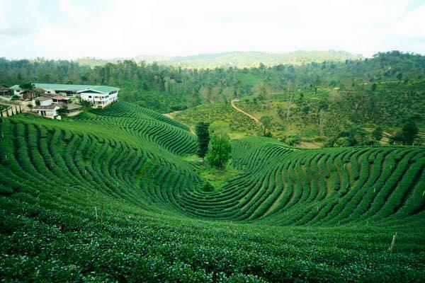 choui fong tea plantation, choui fong chiang rai, choui fong tea