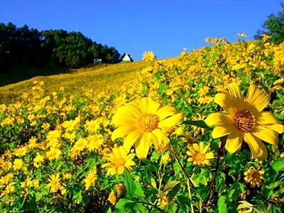 bua tong field, bua tong field at doi mae-u-kho, buatong field at doi mae-u-kho, maxican sun flower, maxican sun flower at doi mae-u-kho, maxican sun flower at doi mae u-kho, bua tong field at doi mae u-kho